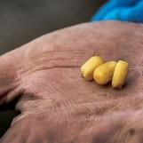 Carpe au maïs un classique à l'hameçon